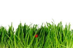Odosobniona zielona trawa i biedronka na biały backgrou Fotografia Royalty Free