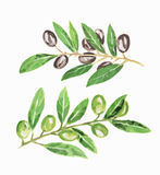 Odosobnione akwareli oliwki ilustracji