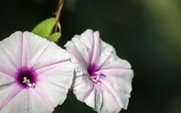 Odosobnione purpury kwitną od batata na ciemnym tle fotografia stock