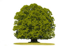 odosobnionego linden pojedynczy drzewo fotografia royalty free