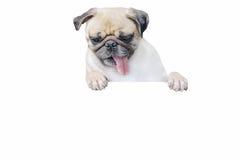 Odosobniony śliczny szczeniaka psa mopsa spojrzenia puszek z odbitkowym głąbikiem dla etykietki Obraz Royalty Free