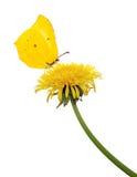 Odosobniony żółty dandelion i motyl zdjęcia stock
