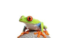 odosobniony żaba biel zdjęcie royalty free