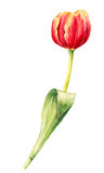 Odosobniony akwarela tulipan na białym tle Obraz Stock