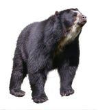 Odosobniony Andyjski niedźwiedź zdjęcia stock