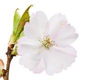 Odosobniony biały czereśniowy okwitnięcie Obrazy Royalty Free