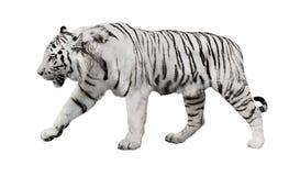 Odosobniony biały pasiasty tygrys zdjęcie stock
