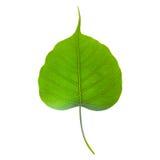 Odosobniony bo leaf Fotografia Stock