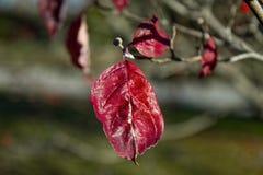 Odosobniony Czerwony liść w sezonie jesiennym Obrazy Stock