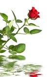 odosobniony czerwony odbicia róży biel Obrazy Royalty Free
