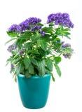 Odosobniony doniczkowy purpled ogrodowego heliotropu kwiat Obrazy Stock