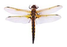 odosobniony dragonfly biel obrazy royalty free