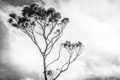 Odosobniony Drzewny dmuchanie w wiatrze Obraz Royalty Free