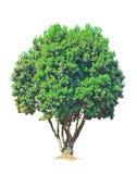 odosobniony drzewo zdjęcia stock