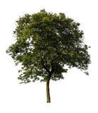 Odosobniony drzewo na białym tle zdjęcia stock