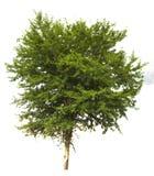 Odosobniony drzewo na białym tle Zdjęcia Royalty Free