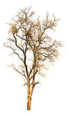 Odosobniony drzewo na białym tle Obraz Stock