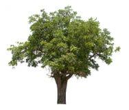 Odosobniony drzewo na białym tle Fotografia Royalty Free