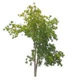 Odosobniony drzewo na białym tle Fotografia Stock