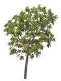 Odosobniony drzewo na białym tle Obraz Royalty Free