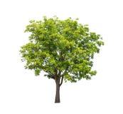 Odosobniony drzewo na białym tle Zdjęcie Royalty Free