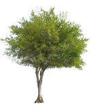 odosobniony drzewo oliwne Zdjęcie Royalty Free