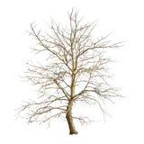 Odosobniony drzewo w zimie bez liści na białym tle Obraz Royalty Free