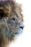 odosobniony głowa lew s obrazy stock
