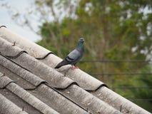 Odosobniony gołąb na brudnym dachu obraz stock