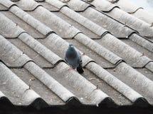 Odosobniony gołąb na brudnym dachu zdjęcia stock
