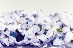 Odosobniony grono kwiatu fiołkowy bez na białym tle Obrazy Royalty Free