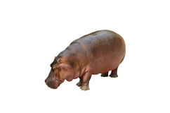 Odosobniony hipopotam na białym tle Obraz Royalty Free