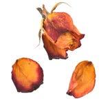 Odosobniony jaskrawy różany i płatki Zdjęcie Royalty Free