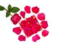 Odosobniony jaskrawy różany i płatki w pudełku Obrazy Stock