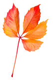 odosobniony jesień liść Zdjęcia Stock