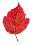 odosobniony jesień liść Zdjęcia Royalty Free
