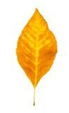 odosobniony jesień liść Fotografia Stock