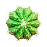 odosobniony kaktusa biel obrazy stock
