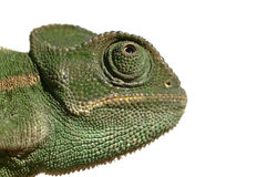 odosobniony kameleonu biel Obrazy Stock