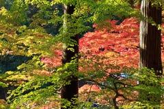 odosobniony klonowego drzewa biel Zdjęcia Royalty Free