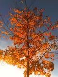 odosobniony klonowego drzewa biel Obraz Royalty Free