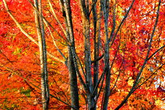 odosobniony klonowego drzewa biel Zdjęcie Stock