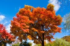 odosobniony klonowego drzewa biel Fotografia Royalty Free