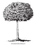 odosobniony klonowego drzewa biel Zdjęcie Royalty Free