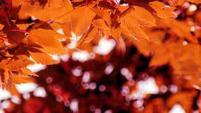 odosobniony klonowego drzewa biel Fotografia Stock