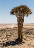Odosobniony kołczanu drzewo, aloes Dichotoma Zdjęcie Royalty Free