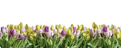 Odosobniony koloru żółtego, białego i różowego Tulipanowy biały tło przestrzeni powitania textspace, może kwiat wiosny Szczęśliwy Obrazy Royalty Free