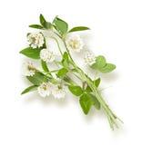 Odosobniony koniczynowy kwiat Obrazy Stock