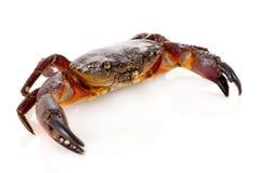 odosobniony kraba biel Zdjęcie Royalty Free