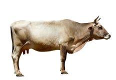 odosobniony krowa biel Obraz Stock